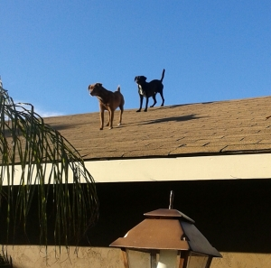 dogs_on_roof